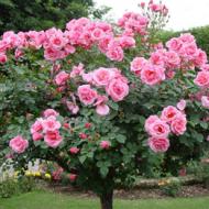 Augststumbra rozes