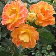 Klājeniskās rozes