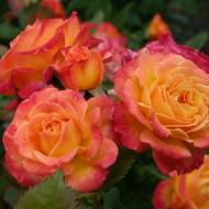 Rozes un augststumbra (augstcelma) rozes