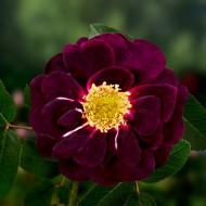 Vēsturiskās rozes