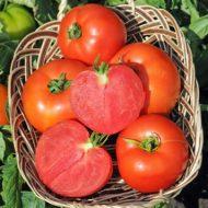 tomats-POLFAST-F1