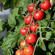 tomats-Tornado